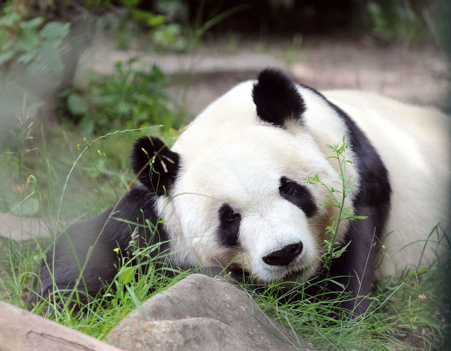 Close-up of a panda in zoo