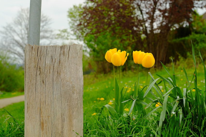 Flower Yellow Grass Outdoors No People Nature Day Closing Plant Close-up Tree Sky Jacqueline Schreiber Fujifilm_X-M1 Manuel_focus Vintage Lens Nofilter No Edit Springtime Auto_revuenon 50mm Tulips🌷
