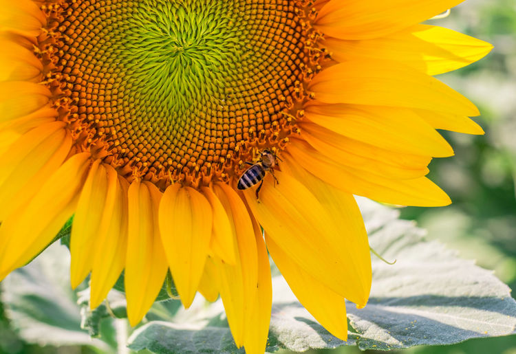 Close-up of sun flower in the field Animal Themes Animal Wildlife Animals In The Wild Beauty In Nature Bee Blooming Close-up Day Flower Flower Head Fragility Freshness Growth Insect Nature No People One Animal Outdoors Petal Plant Pollen Pollination Sun Flower Sun Flowers Field Sunflower Yellow