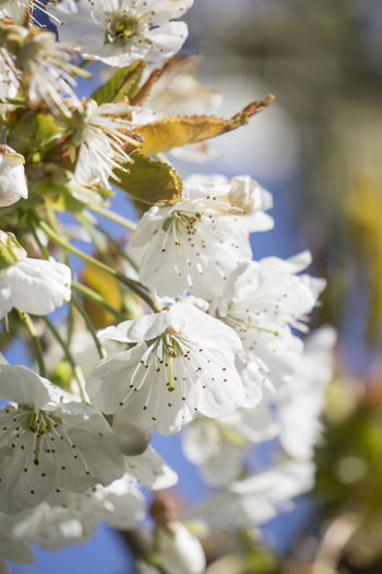floreal Apple Blossom Apple Tree Beauty In Nature Blossom Botany Branch Cherry Blossoms Close-up Fiori Fiori Di Ciliegio Flora Flower Flowers Fragility Freshness Growth Kirschblüten  Nature No People Orchard Petal Selective Focus Springtime Tree White Color