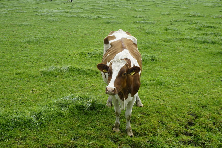 Curious cow Animal Animal Themes Cattle Cow Day Domestic Domestic Animals Domestic Cattle Field Grass Green Color Herbivorous Land Livestock Mammal Nature No People One Animal Outdoors Pets Plant Portrait