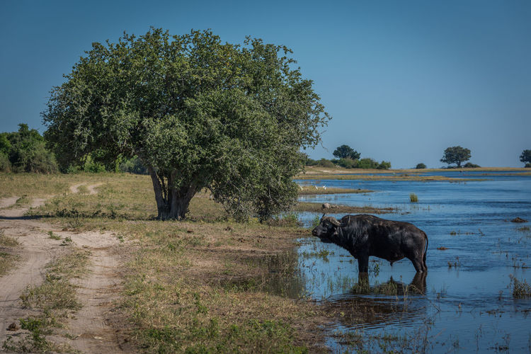 Cape buffalo standing in pond