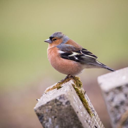 Close-up of chaffinch perching on wooden post