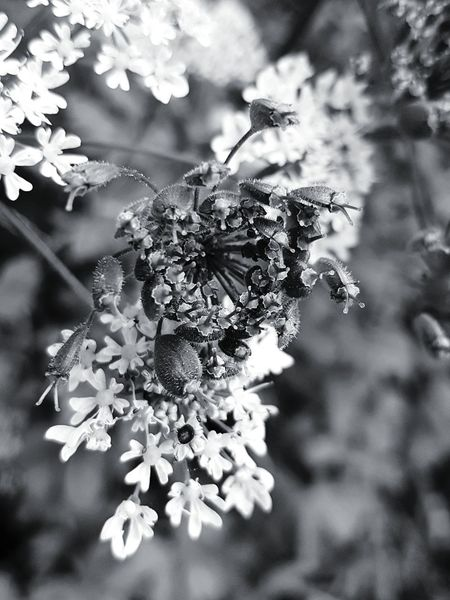Nature No People Flower Close-up Plant Growth Day Outdoors Tree Branch Beauty In Nature Freshness Black&white Edit Black&white Grasses Are Beautiful Too Macro Macro Nature Botany Botany Close-up Filigran Flowers Filigran Blossoms Filigranity Ladyphotographerofthemonth Uncultivated Blossom