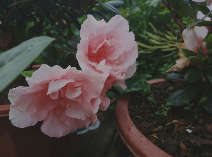 Rainy day . Nature Freshness Flower Pink Color