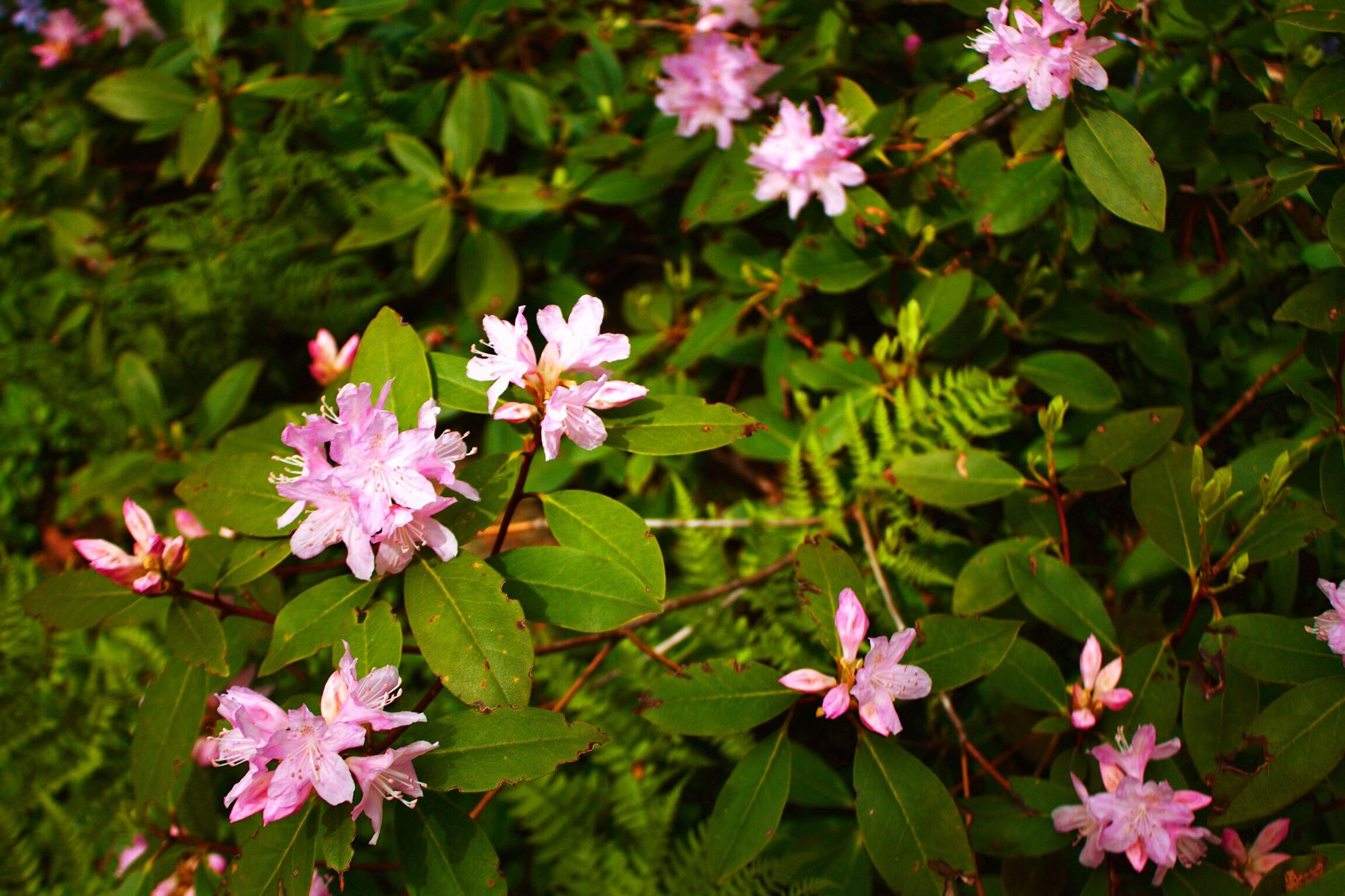 flower, growth, fragility, petal, freshness, nature, beauty in nature, pink color, flower head, leaf, blooming, plant, no people, day, focus on foreground, green color, outdoors, close-up, periwinkle