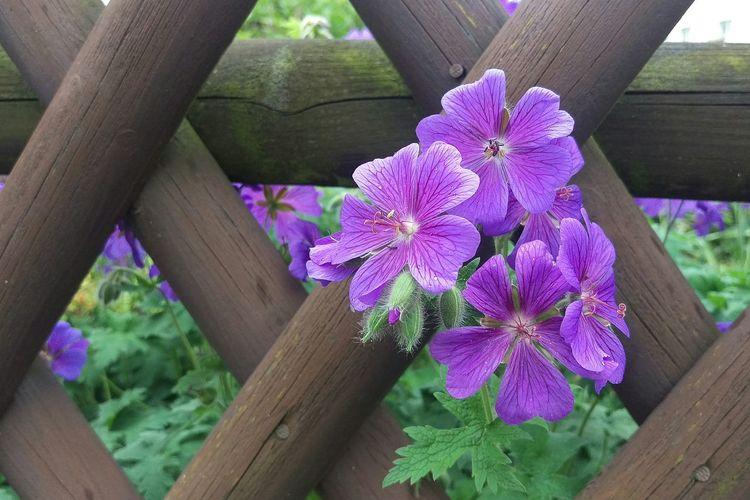 The Great Outdoors - 2016 EyeEm Awards HTCOneM9 EyeEm Best Shots - The Streets EyeEm Nature Lover For You ;-) Flowerporn Flowers,Plants & Garden Storchschnabel Geranium