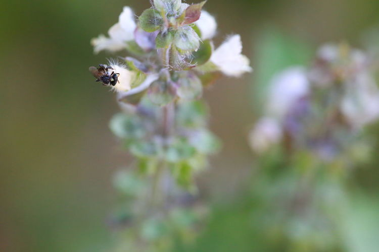 Flower Flowering Plant Plant Fragility Vulnerability  Freshness Beauty In Nature Close-up Growth Flower Head No People Red Ants Bee Flower Collection Basil Thai Plants Work For A Living Animal Life