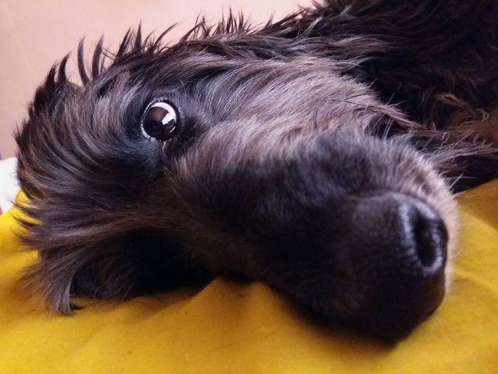 EyeEm Gallery Photography Eyemdog Afganhound Eyempets Pet Pets Dog Love Karaleva