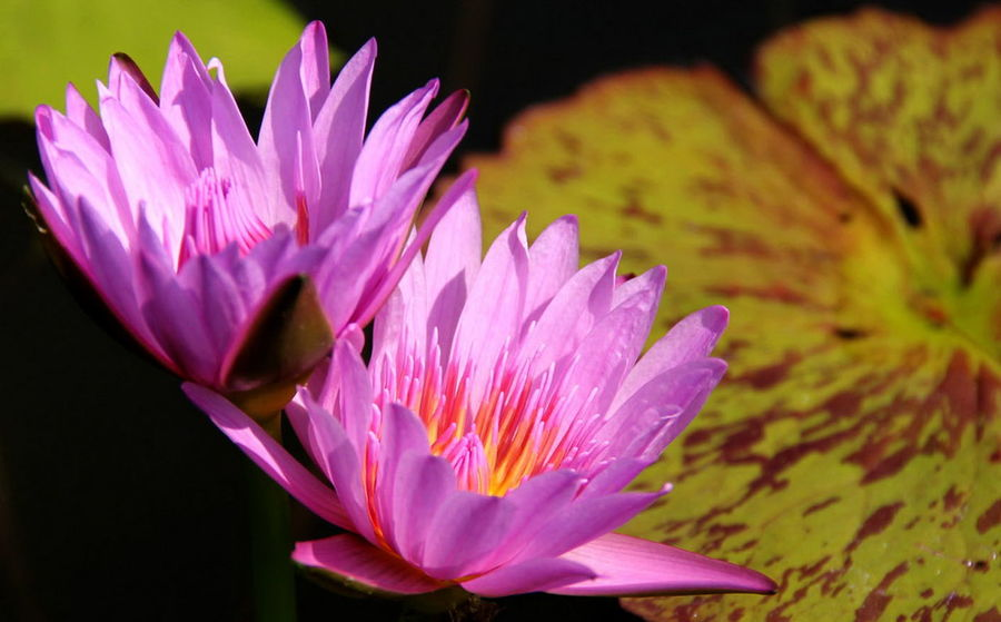 Beauty In Nature Blooming Close-up Day Flower Flower Head Fragility Freshness Growth Lotus Water Lily Nature No People Outdoors Petal Plant Water Lily