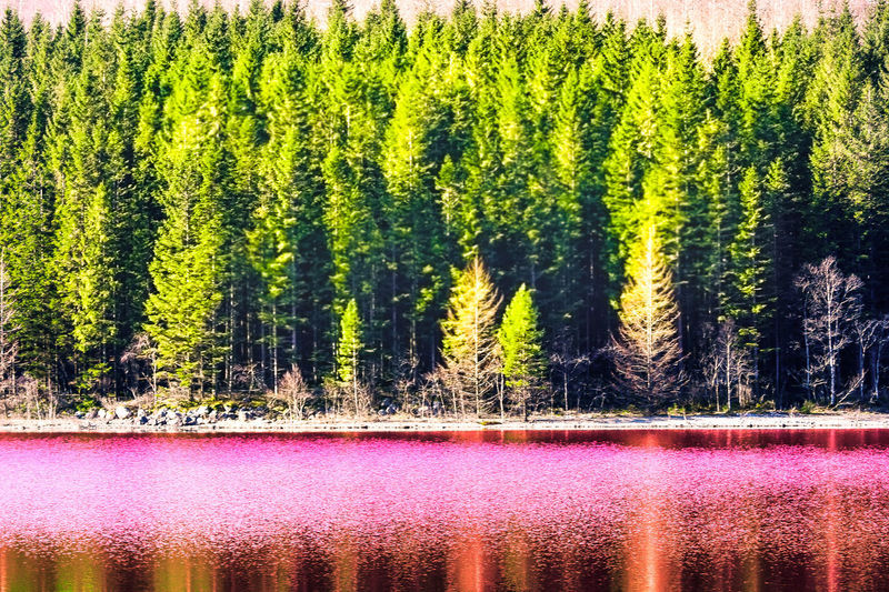 Tree Plant Beauty In Nature Lake Water Forest Tranquility Scenics - Nature Tranquil Scene Nature Growth Green Color No People Reflection Land Non-urban Scene Day Waterfront Outdoors WoodLand Coniferous Tree Pine Tree Pine Woodland