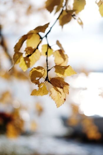 golden Autumn Collection Autumn🍁🍁🍁 Autumn colors Autumn Leafs Leaves_collection Golden Orange Color Treescollection Yellow EyeEm Selects Tree Branch Leaf Autumn Close-up Sky Wilted Plant Dried Plant Thistle Dry Leaves Wilted Fallen Leaf Dead Plant Dried Plant Life Stem