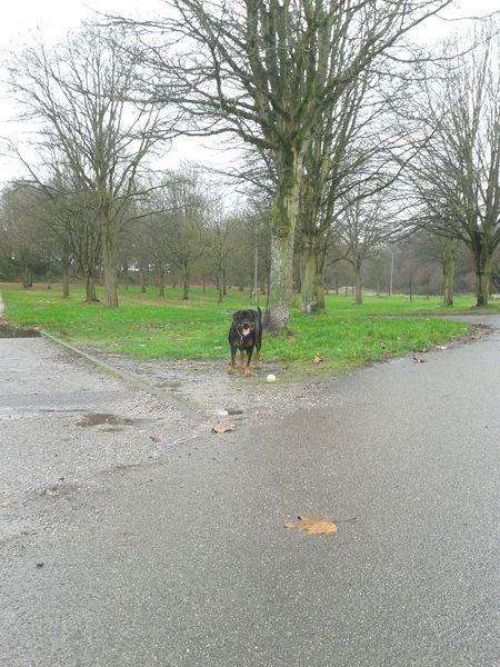 Dogoftheday Unterwegsunddraußen Mit Meinem Hund Freya- ihr Ball ♡ Hunderunde Rottisserie Dogs Of EyeEm EyeEm Dog Lover { My Lovely RottWeiler } Hundeleben Rottweiler