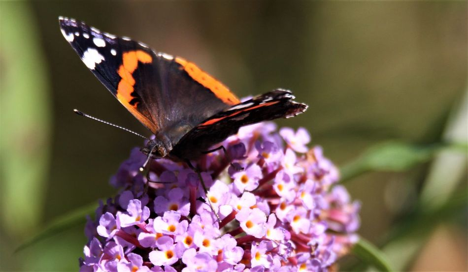 Butterfly Lilac Flower Lilac Germany Sommerflieder Summer Lilac EyeEm Selects Flower Insect Animal Themes Flowering Plant Invertebrate Animal Wildlife Animal One Animal Animal Wing Beauty In Nature Animals In The Wild Butterfly - Insect Plant Fragility Petal Vulnerability  Freshness Close-up Nature Animal Body Part