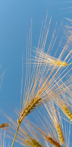 Sky Wheat Corn Cereal Food Growing Fields Crop  Harvest Field Englishcountryside Yellow Cereal Plant Blue Clear Sky Rural Scene Sky Close-up Grain Farmland Ear Of Wheat Barley Plant Life