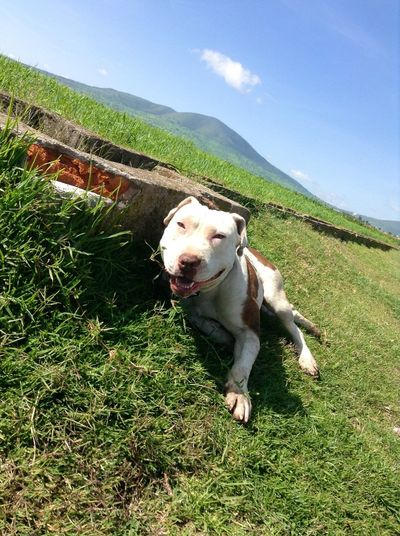 Animals Pitbull