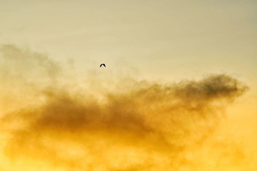 Capture The Moment Beauty In Nature Flying Bird Spread Wings Sunrise_sunsets_aroundworld Majestic Sky And Clouds Nature Mid-air Minimalism One Animal Silhouette Fine Art Photography Getting Inspired Tranquility Fragility Selective Focus Taking Photos Full Frame Detail Sony A7RII Sigma EyeEm Best Shots 17_10 EyeEmNewHere
