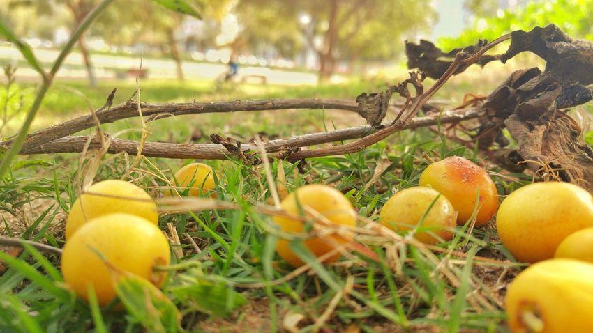 نبق نبق Fruit Nature Growth Day No People Outdoors Freshness