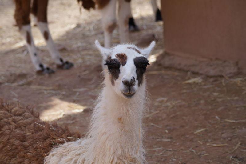 Close-Up Of Lama At Farm
