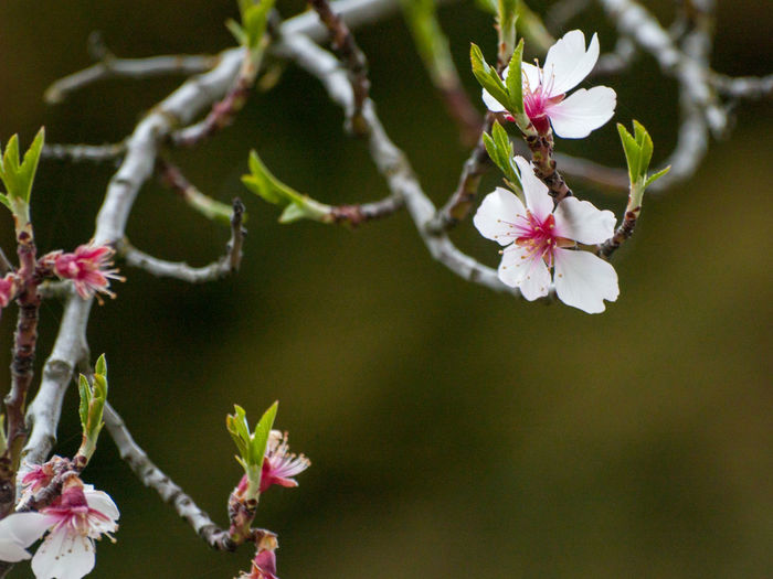 Agriculture Almond Tree Almond Tree In Blossom Copy Space EyeEm Best Shots EyeEmNewHere Backgrounds Beauty In Nature Blooming Blossom Botany Branch Cherry Blossom Cherry Tree Close-up Color Day Delicacy Delicate Environment Floral Floral Frame Flower Flower Head Flowering Plant Flowerporn Focus On Foreground Fragility Freshness Fruit Tree Fruit Trees Growth Nature No People Orchard Outdoors Petal Pink Color Pink Flower Plant Plantation Pollen Spring Springtime Tree Twig Vulnerability