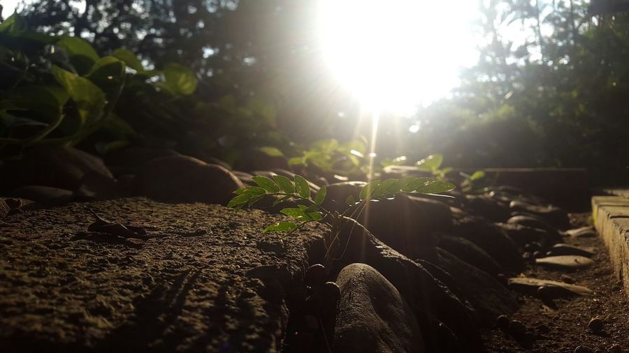 Maximum Closeness Lens Flare Sunbeam Sunlight Nature Sun Leaf Freshness Day No People Beauty In Nature Outdoors Agriculture Close-up Light Effect