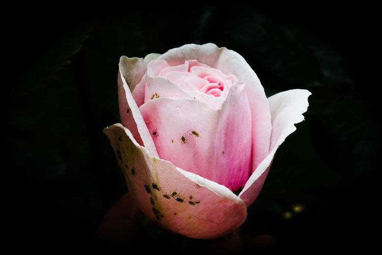 Tainted Beauty Beauty In Nature Black Background Break The Mold Close-up Day Flower Flower Head Focus On Foreground Fragility Freshness Growth Nature No People Outdoors Peony  Petal Pink Color Plant Rose - Flower Tainted Beauty Wild Rose