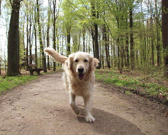 Goldenretriever Golden Retriever Happy Dog
