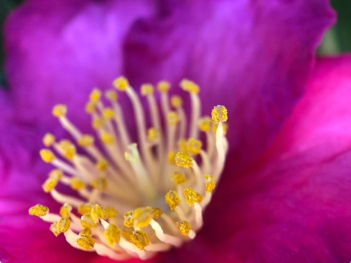 Bloom Flowering Plant Flower Freshness Pollen Plant Beauty In Nature Petal Fragility Vulnerability  Close-up Growth Inflorescence Flower Head Nature Selective Focus Purple