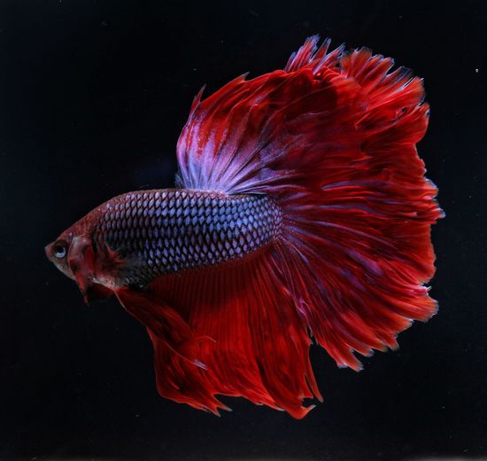 Close-up of betta fish