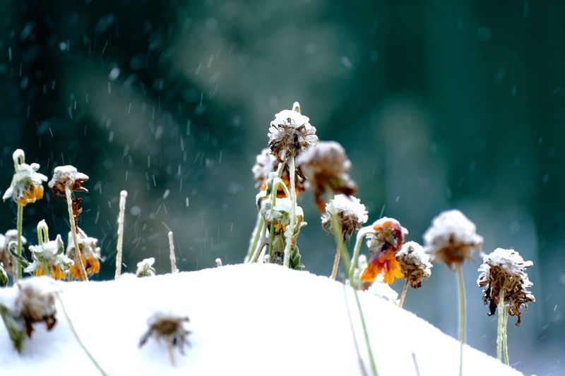 Flower Nature Growth Plant Beauty In Nature Fragility Day Outdoors No People Close-up Focus On Foreground Snow Winter