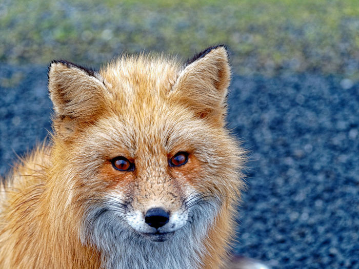Red fox, South Beach, San Juan Island, WA Foxes Nature Nature Photography Wildlife & Nature Wildlife Photography Wildlife Photos Animal Head  Animal Themes Animal Wildlife Animals In The Wild Close-up Day Focus On Foreground Fox Looking At Camera Mammal Nature No People One Animal Outdoors Portrait Red Fox Red Foxes Wildlife Wildlifephotography