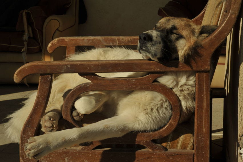 Big Dog Dog Dog Days Dog On Chair Relaxed Relaxed Dog Sleeping Dog Tired Dog