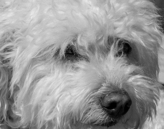 Pensive pup One Animal Dog Mammal Canine Animal Domestic Animal Themes Domestic Animals Pets Animal Body Part Close-up Animal Head  Vertebrate Looking At Camera Portrait No People Indoors  Animal Eye Looking Animal Nose