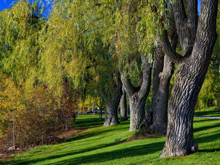 Willow trees in