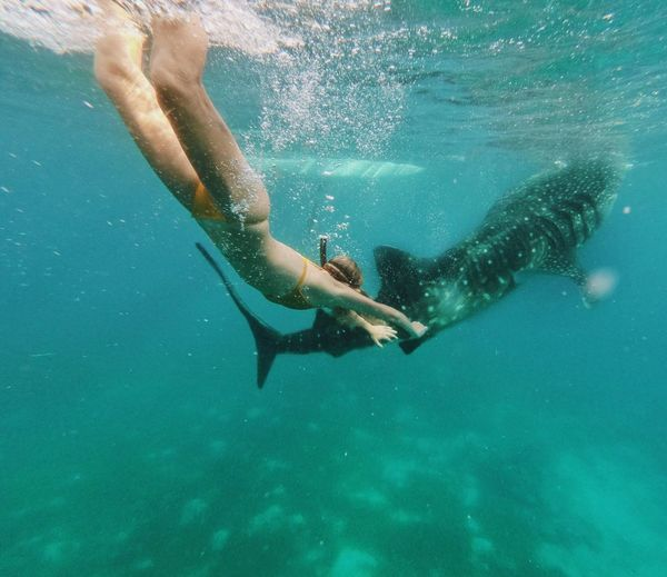 Swimming with whale sharks Oslob Cebu Philippines Whale Shark Underwater UnderSea Water Sea Sport One Person Swimming Aquatic Sport Adventure Leisure Activity Snorkeling Lifestyles Adult Be Brave