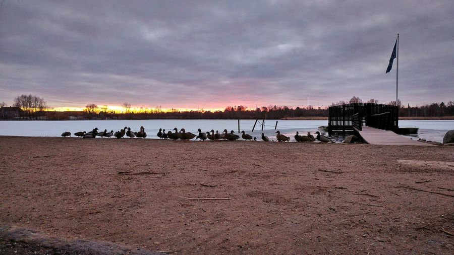 The gathering.. Ducks Ducks At The Lake Gentofte