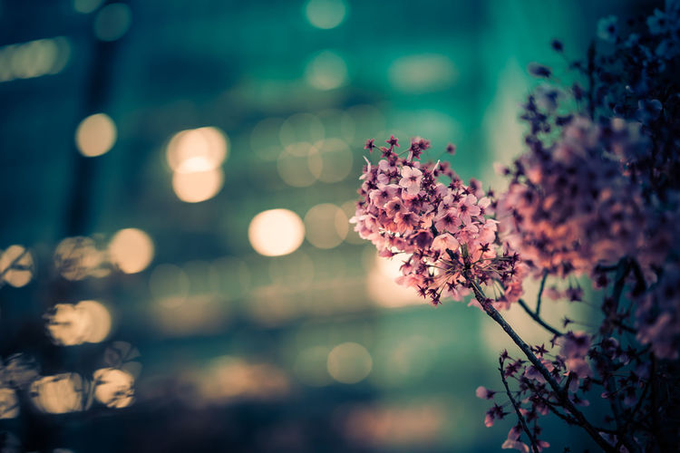 Cherry Blossoms Japan Pink Sakura Tokyo Beauty In Nature Flower Flower Head Flowering Plant Focus On Foreground Night Pink Color Plant Selective Focus Sunset Tree Urban Skyline Vulnerability