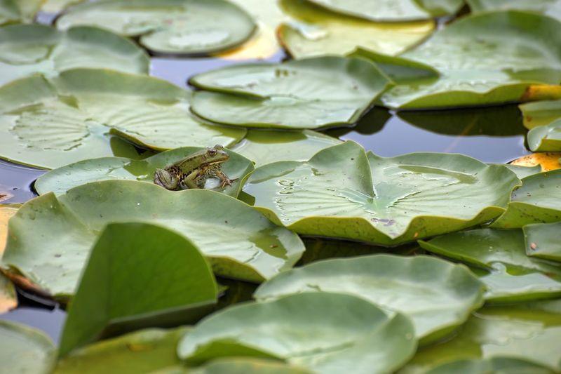 Water Leaf