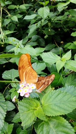 Mating Pair Of Butterfly