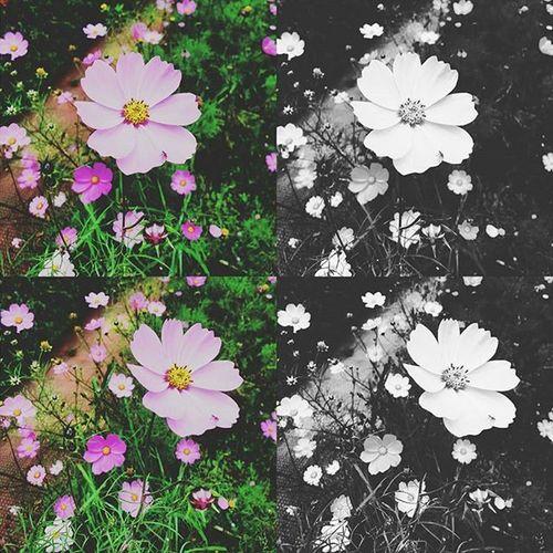 Cosmos🌼🌸 Cosmos Cosmosflower Fortheloveofblackamdwhite Pinkflower Flowerporn Flowers Flower Floral Naturelovers Nature Greenary Nature Bryantpark Park Kodaikanal India Southindia _soi Instatravel Tamilnadu Traveljournal Pixelpanda_india Incredibleindia Picturesofindia Beautifulindia hippieinhills indiatravelgram desi_diaries indiaclicks monochromatic monochrome