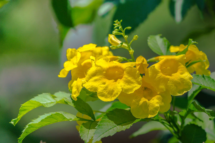 Trumpet Vine Flowers Beauty In Nature Close-up Day Flower Flower Head Flowering Plant Fragility Freshness Growth Inflorescence Leaf Nature No People Outdoors Petal Plant Plant Part Selective Focus Tecoma Vulnerability  Yellow Yellow Bells Yellow Elder