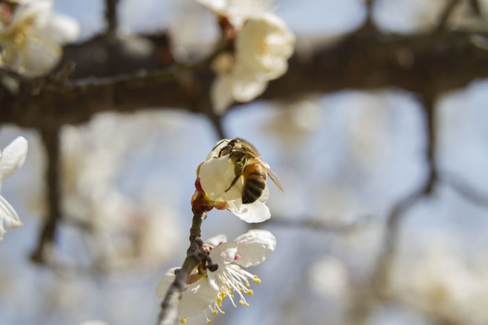 Plum Blossom Nature Day Spring Flowers Spring EyeEm Selects CherryPlumBlossom Flowers Chrry Blossoms Bee Insect Close-up
