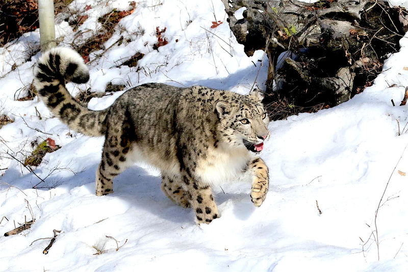 Snow leopard walking on snowfield