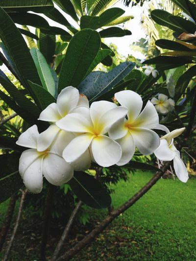 flower in the garden Green Leaf Grass White Flower Outdoor Leelawadee Flower In The Garden Blossom