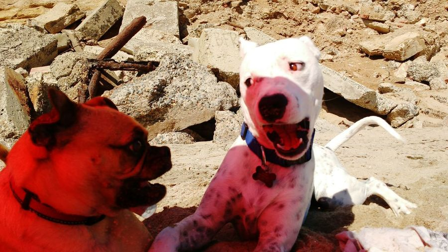 Whitedog Twodogs Dogplaying Dogs Of EyeEm California Huntingtonbeach Dogbeach Midasthefriendlychug Southern California Sunny Day Dog Animal Photography Dogs Animals Sand Surfcityusa Rocks Funny Faces Dogface Funny FUNNY ANIMALS Funnydogs Funnydog The Great Outdoors - 2016 EyeEm Awards Domestic Animals Animal Themes Outdoors Pets No People Day