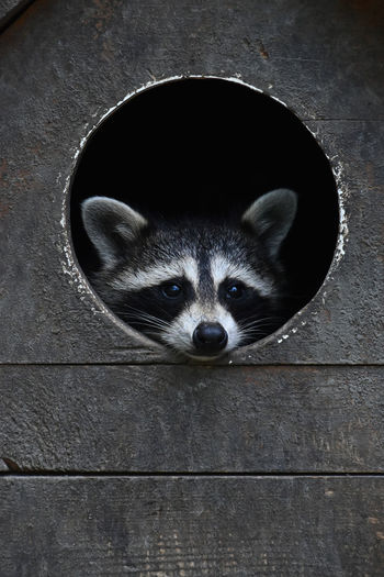 Raccoon Looking Through Pen Window At Zoo