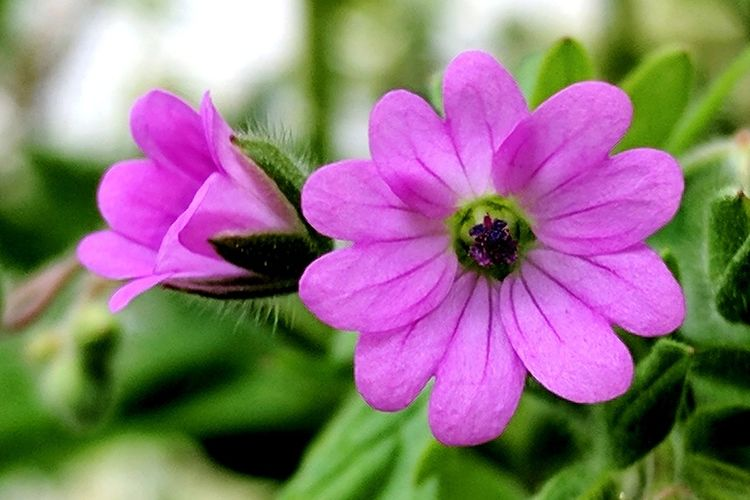 Pink Color Flower No People Plant Petal Flower Head Fragility Beauty In Nature Freshness Outdoors Growth Close-up Love Of Flowers Green Color EyeEm Flower Blossom