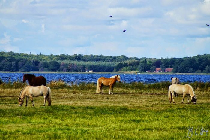 A typical Danish summer day . Horse's on the field , the wind is windy , waves on the fool , birds flying , the air is in you , love the Danish weather such a day . Landscape What Does Peace Look Like To You? Beautiful Nature Enjoying Life