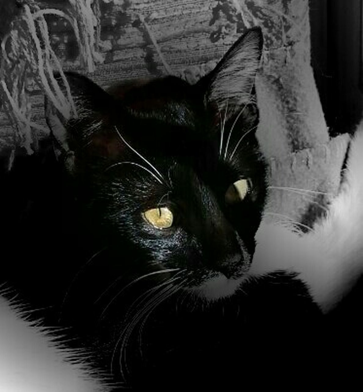 domestic cat, feline, domestic animals, one animal, pets, animal themes, whisker, black color, indoors, looking at camera, portrait, mammal, no people, close-up, yellow eyes, day