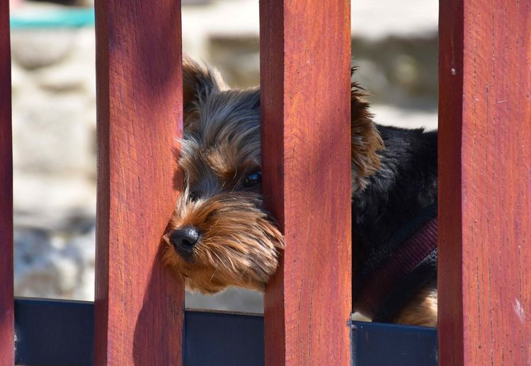Curiosities FUNNY ANIMALS Happiness Humor Yorkshire Terrier Animal Nose Animal Themes Close-up Curiosity Cute Day Dog Domestic Animals Fence Focus On Foreground Leisure Activity Looking Through Mammal No People One Animal Outdoors Pets Photography Puppy Young Animal